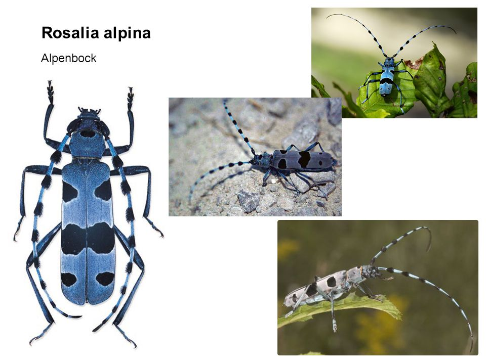 Rosalia alpina Alpenbock