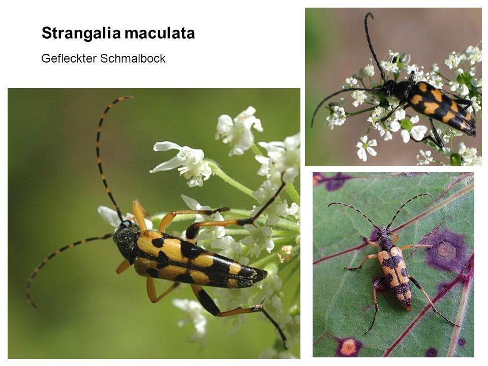 Strangalia maculata Gefleckter Schmalbock
