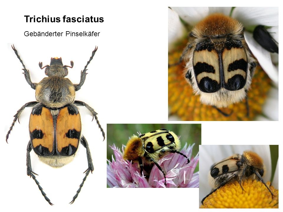 Trichius fasciatus Gebänderter Pinselkäfer