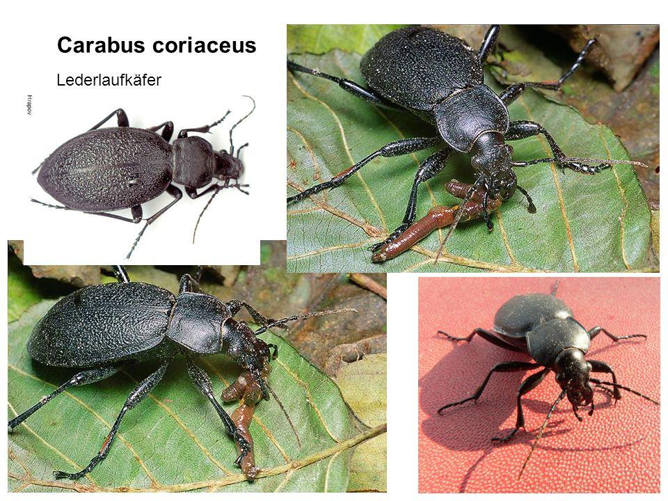 Carabus coriaceus Lederlaufkäfer
