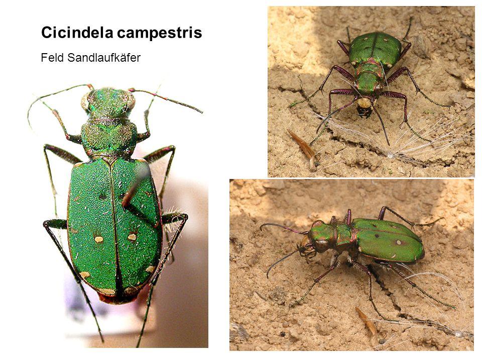 Cicindela campestris Feld Sandlaufkäfer