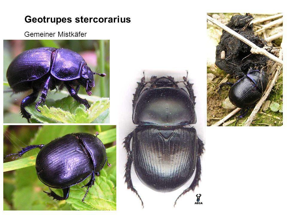 Geotrupes stercorarius