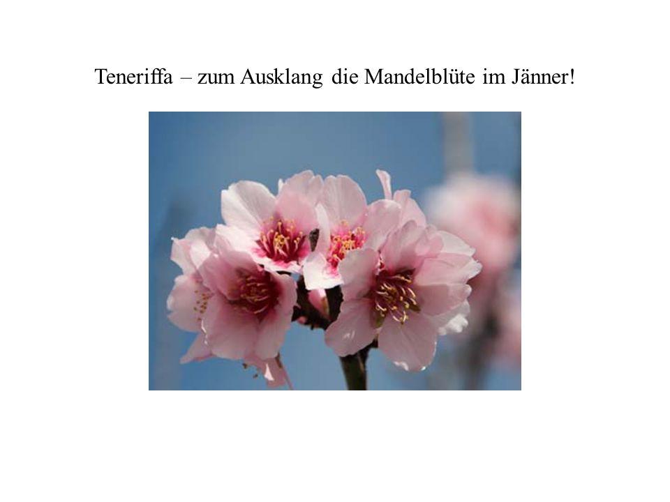 Teneriffa – zum Ausklang die Mandelblüte im Jänner!