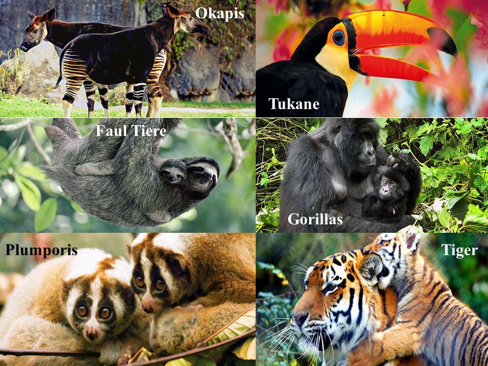 Okapis Tukane Faul Tiere Gorillas Plumporis Tiger