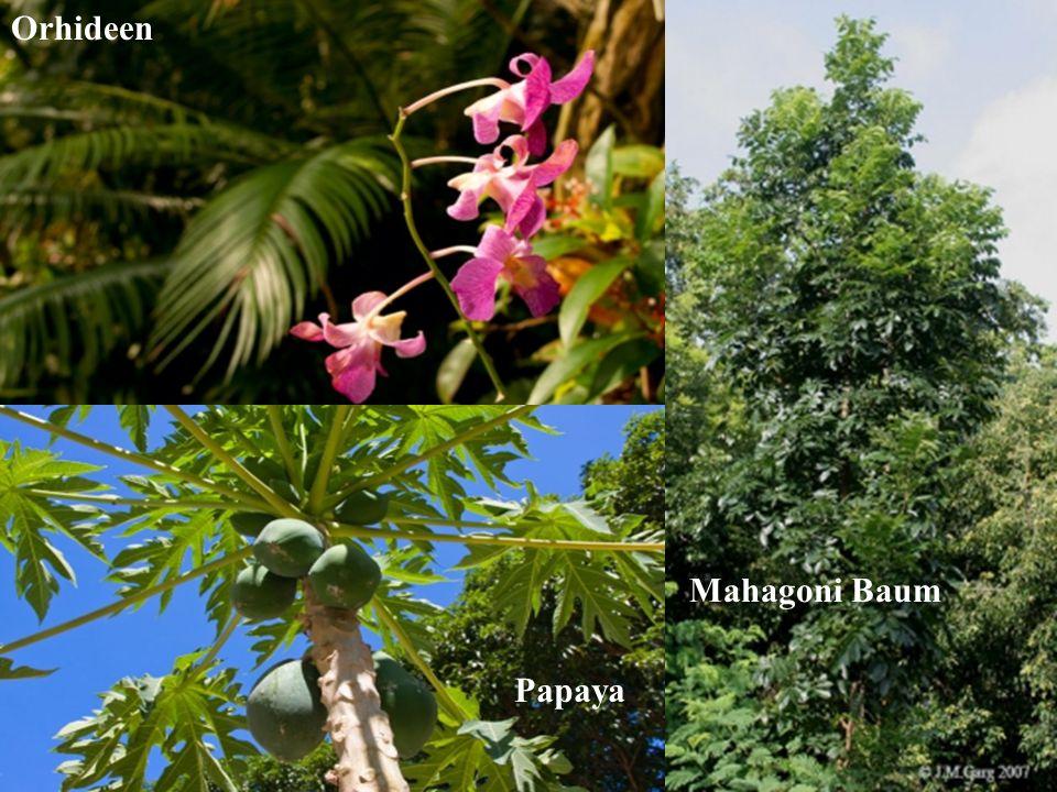 Orhideen Mahagoni Baum Papaya