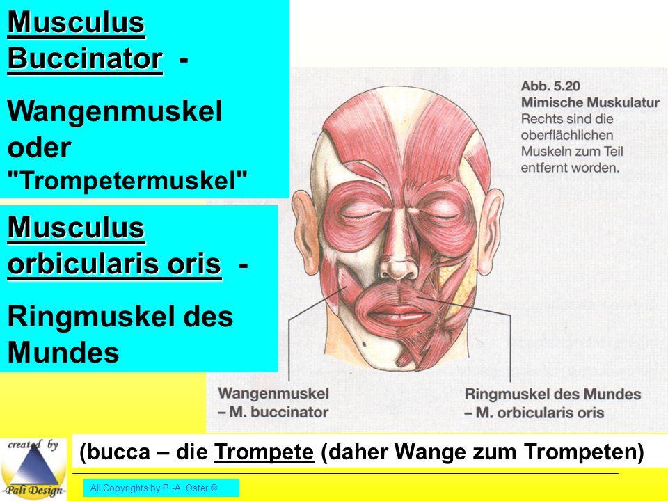 Wangenmuskel oder Trompetermuskel