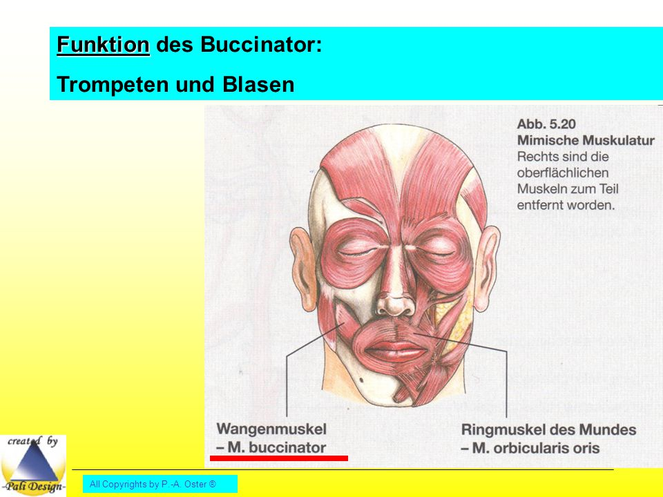 Funktion des Buccinator: Trompeten und Blasen