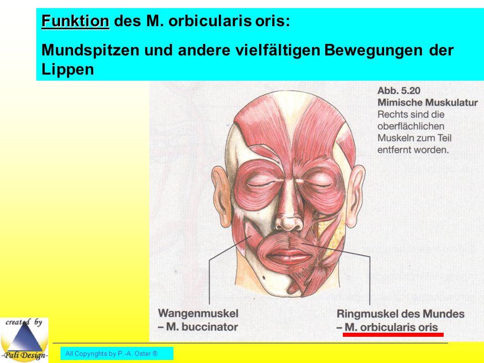 Funktion des M. orbicularis oris: