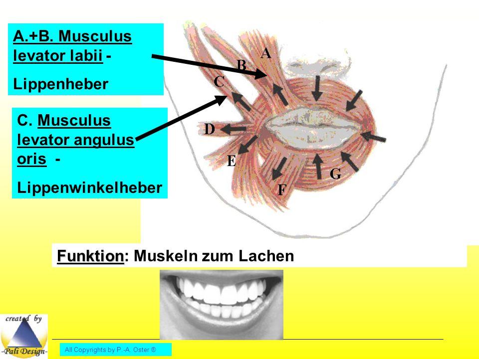 A.+B. Musculus levator labii - Lippenheber