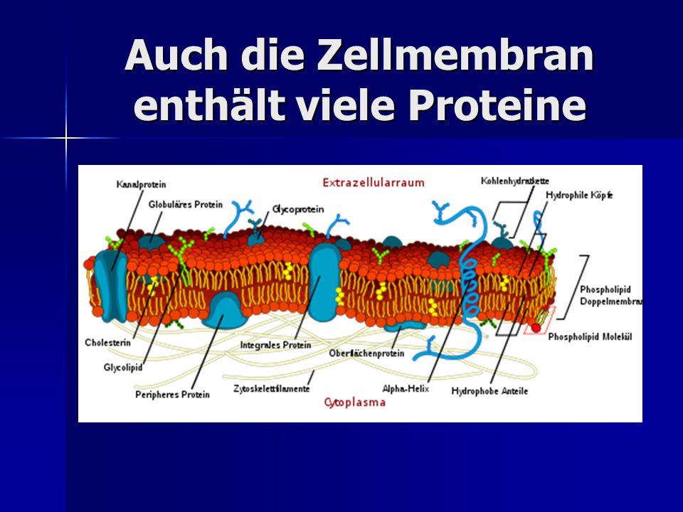 Auch die Zellmembran enthält viele Proteine