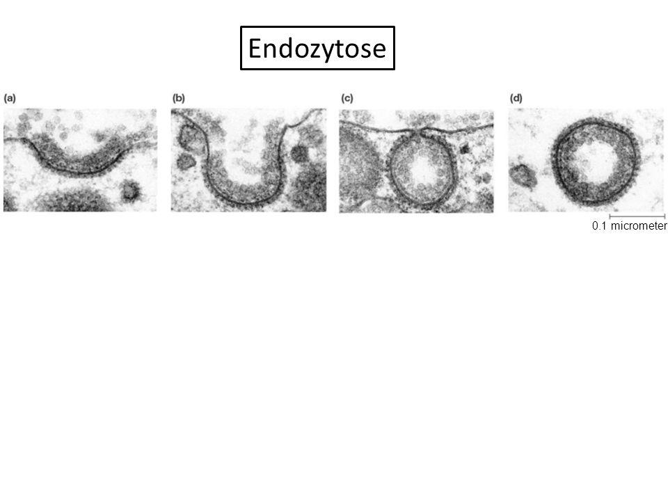 Endozytose 0.1 micrometer Figure :4-8 Title: