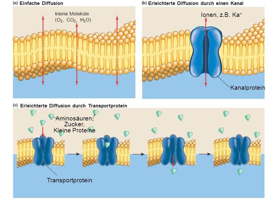 Ionen, z.B. Ka+ Kanalprotein Aminosäuren, Zucker, Kleine Proteine