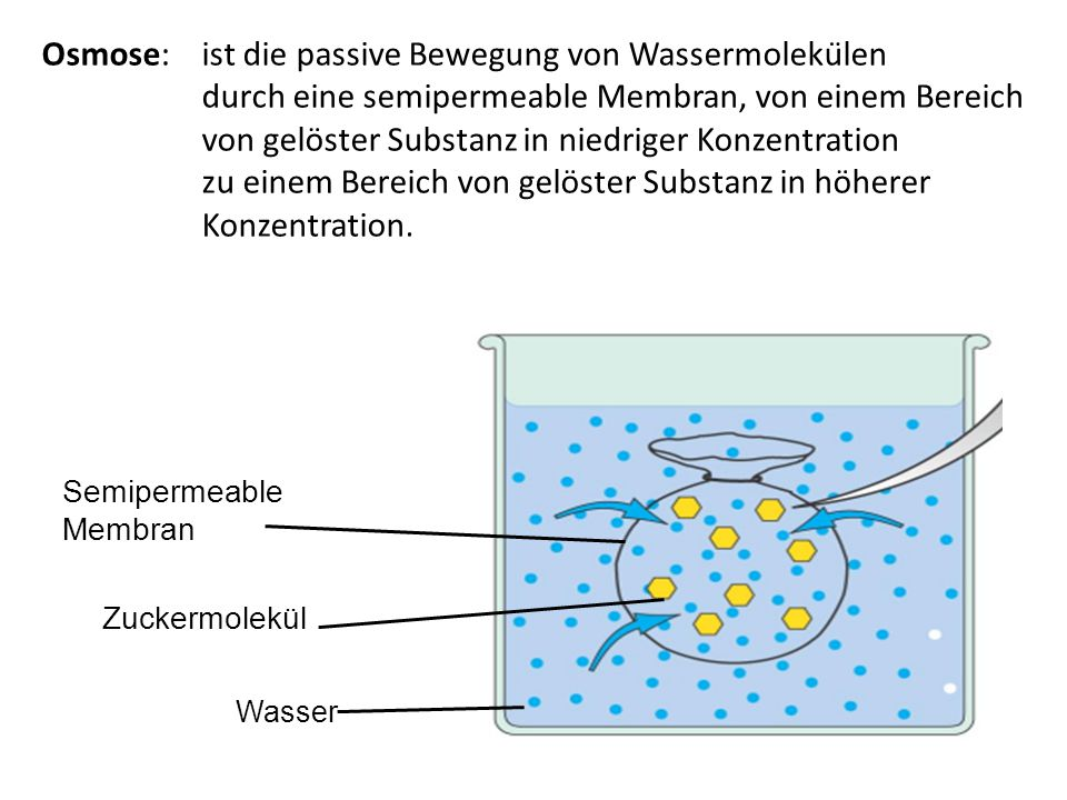 Osmose: ist die passive Bewegung von Wassermolekülen