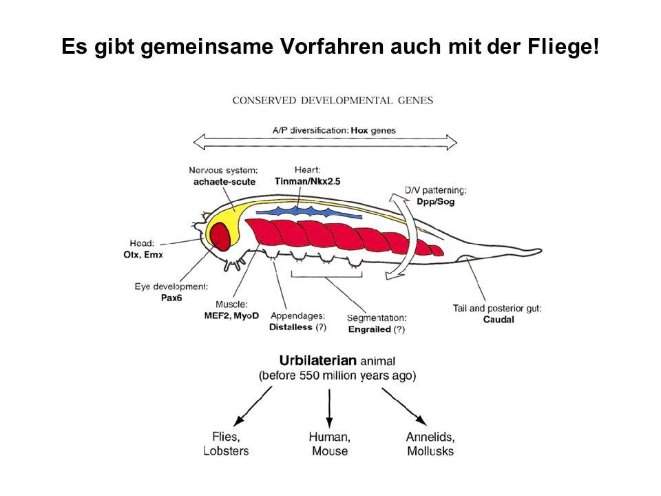 Es gibt gemeinsame Vorfahren auch mit der Fliege!