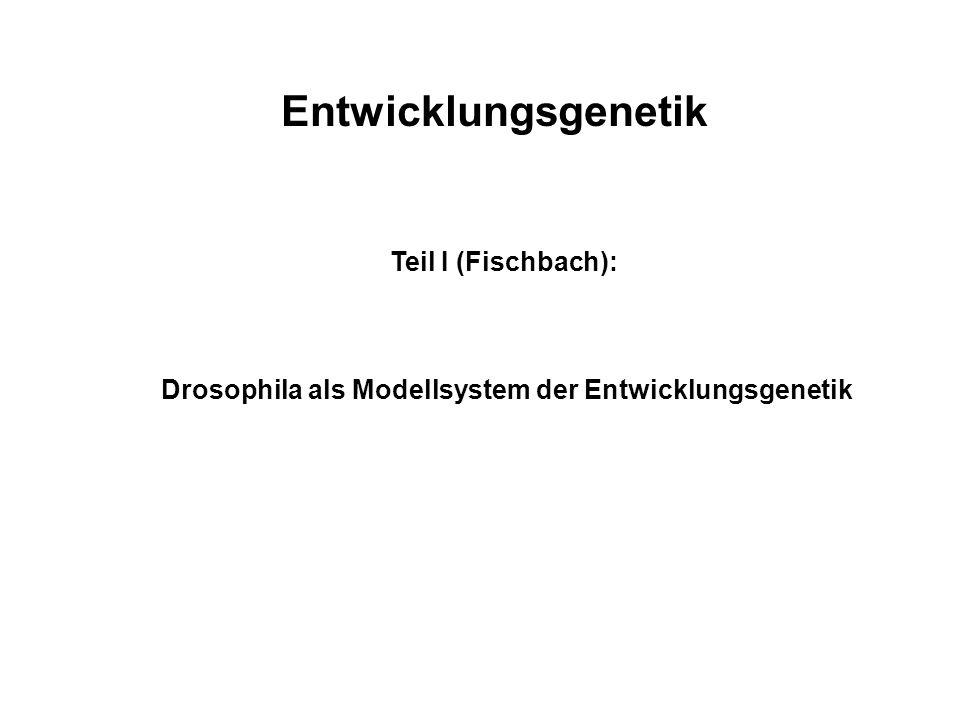 Drosophila als Modellsystem der Entwicklungsgenetik
