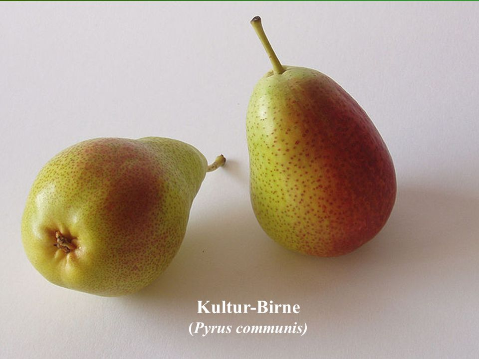 Kultur-Birne (Pyrus communis)