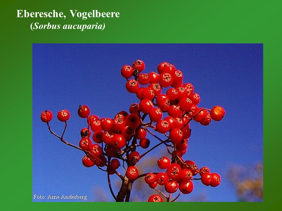 Eberesche, Vogelbeere (Sorbus aucuparia)