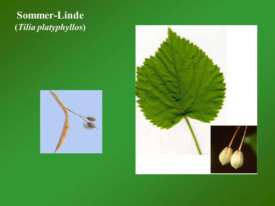 Sommer-Linde (Tilia platyphyllos)