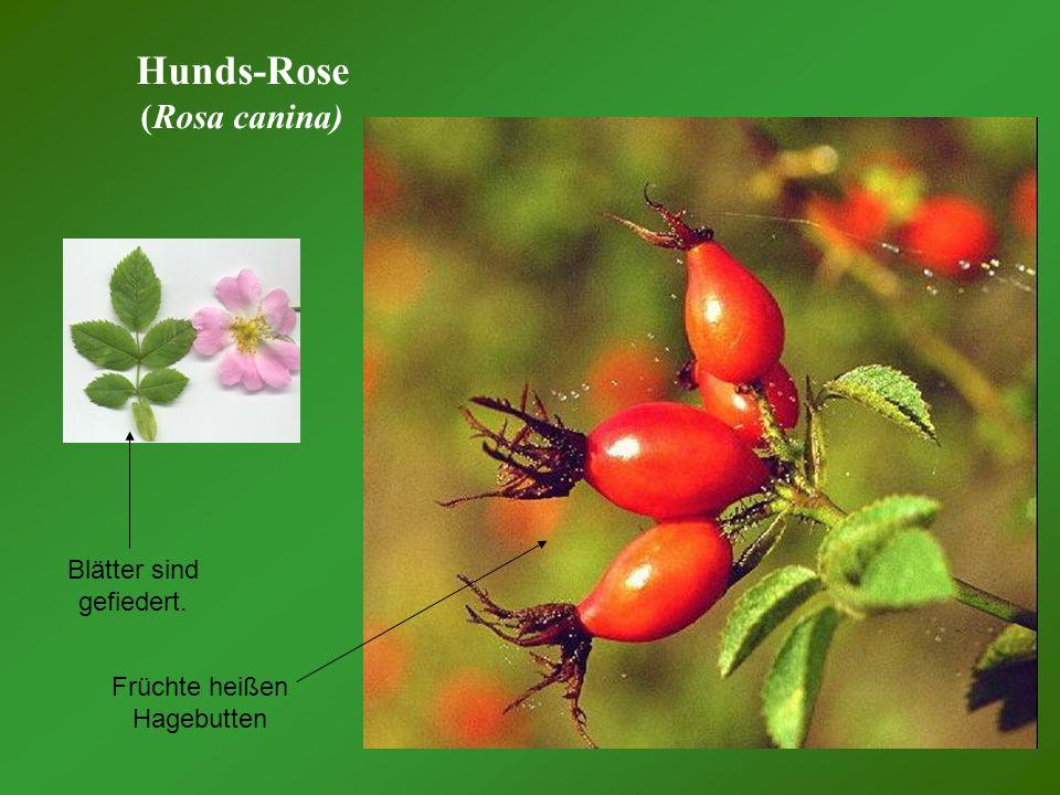 Hunds-Rose (Rosa canina) Blätter sind gefiedert.