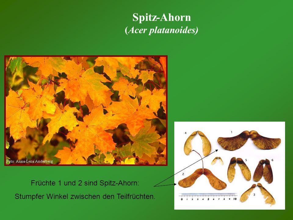 Spitz-Ahorn (Acer platanoides) Früchte 1 und 2 sind Spitz-Ahorn:
