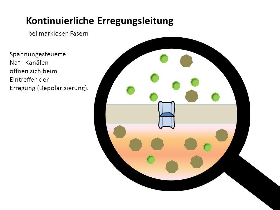 - Kontinuierliche Erregungsleitung bei marklosen Fasern