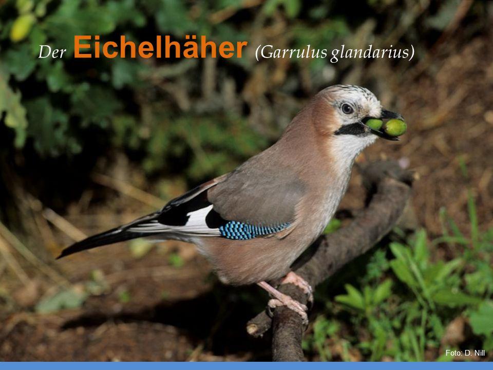Der Eichelhäher (Garrulus glandarius)