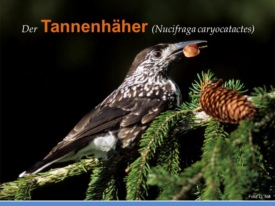 Der Tannenhäher (Nucifraga caryocatactes)