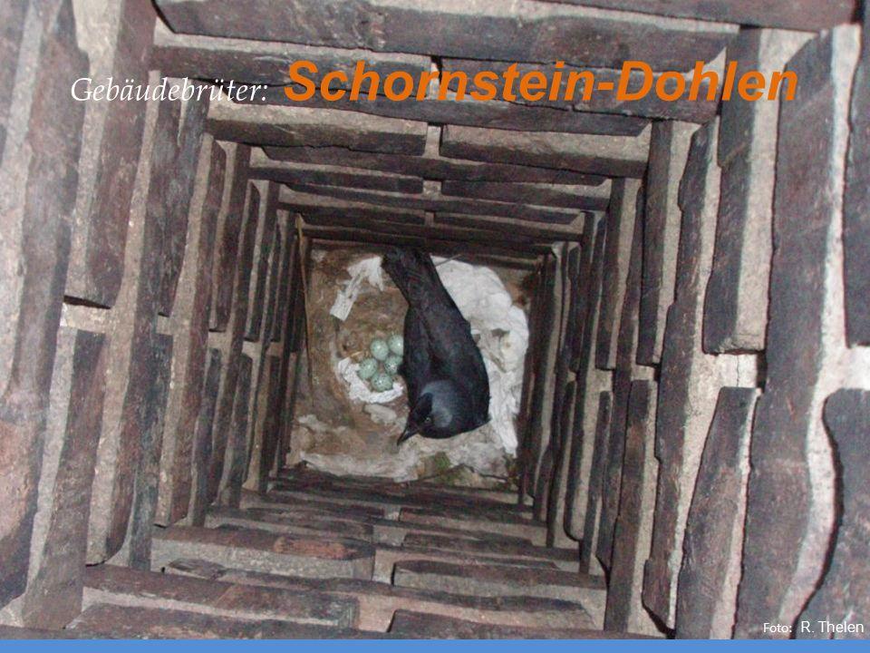 Gebäudebrüter: Schornstein-Dohlen