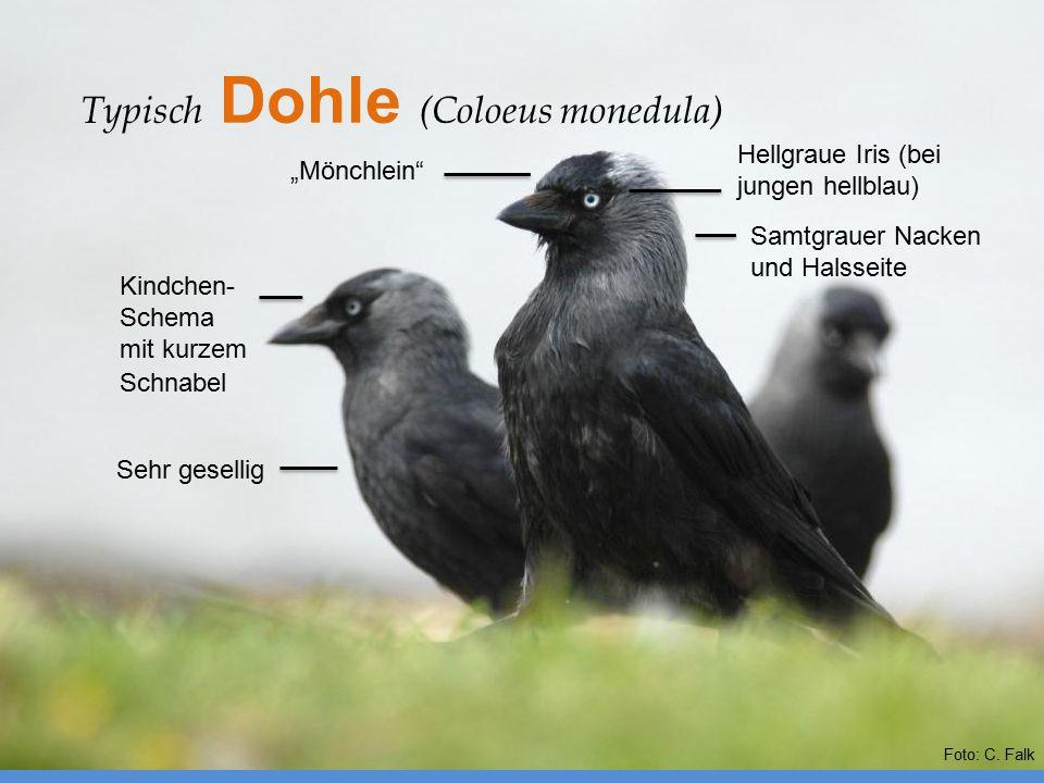 Typisch Dohle (Coloeus monedula)