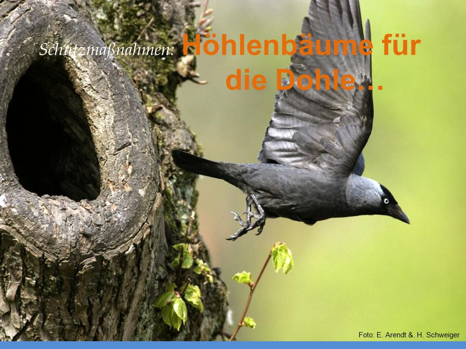 Schutzmaßnahmen: Höhlenbäume für die Dohle…