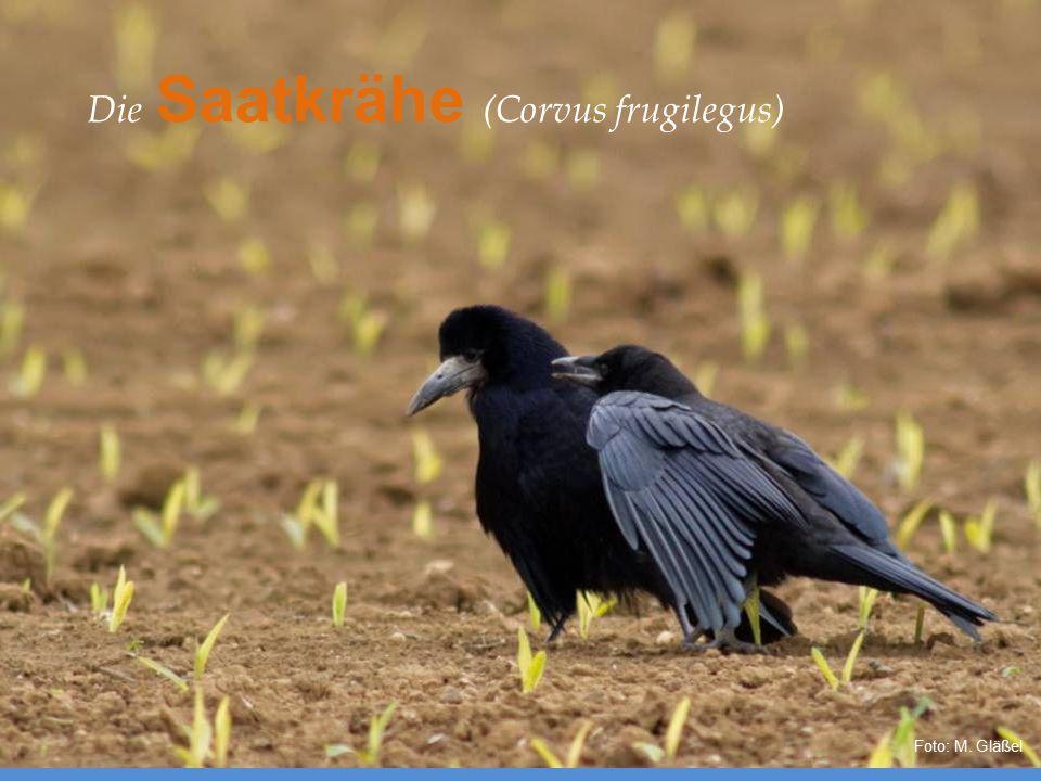 Die Saatkrähe (Corvus frugilegus)