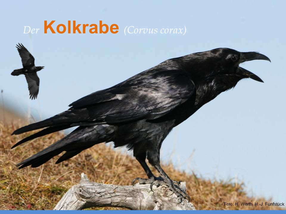 Europäische Verwandte – Der Kolkrabe (Corvus corax)