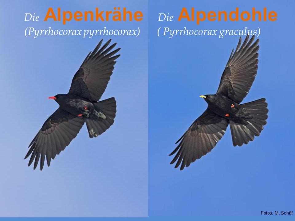 Die Alpendohle ( Pyrrhocorax graculus)