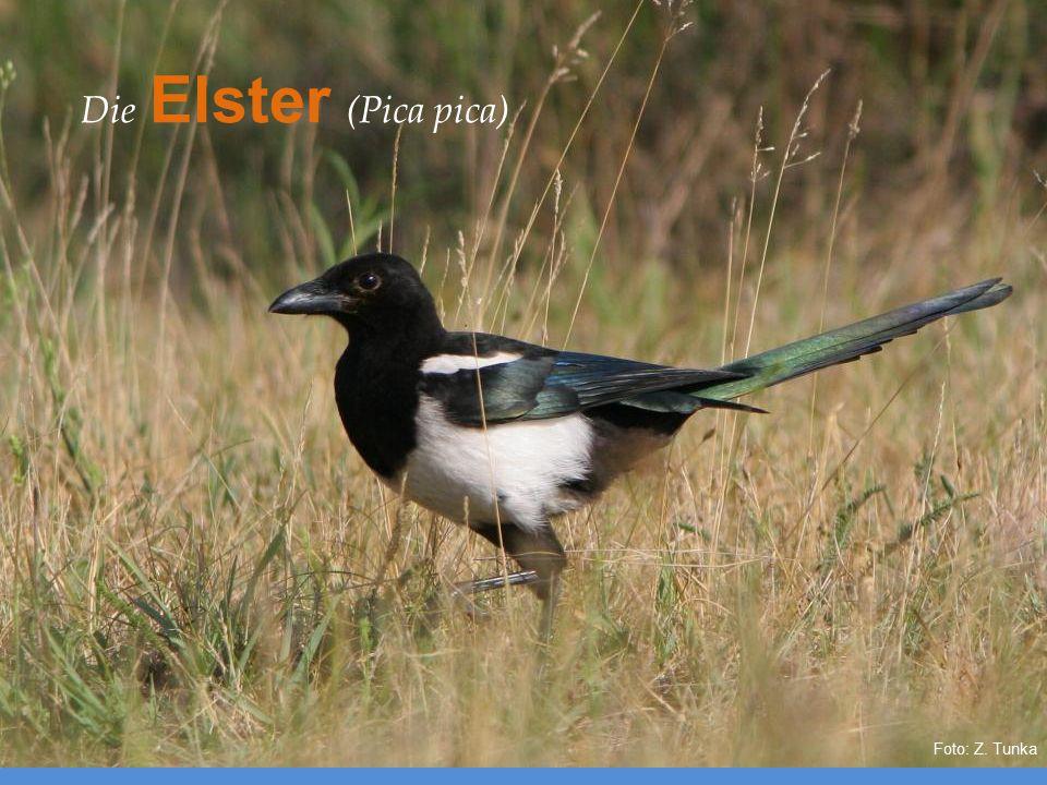 Die Elster (Pica pica)
