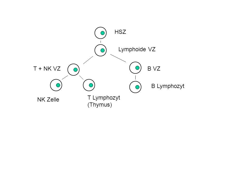 HSZ Lymphoide VZ T + NK VZ B VZ B Lymphozyt T Lymphozyt (Thymus) NK Zelle
