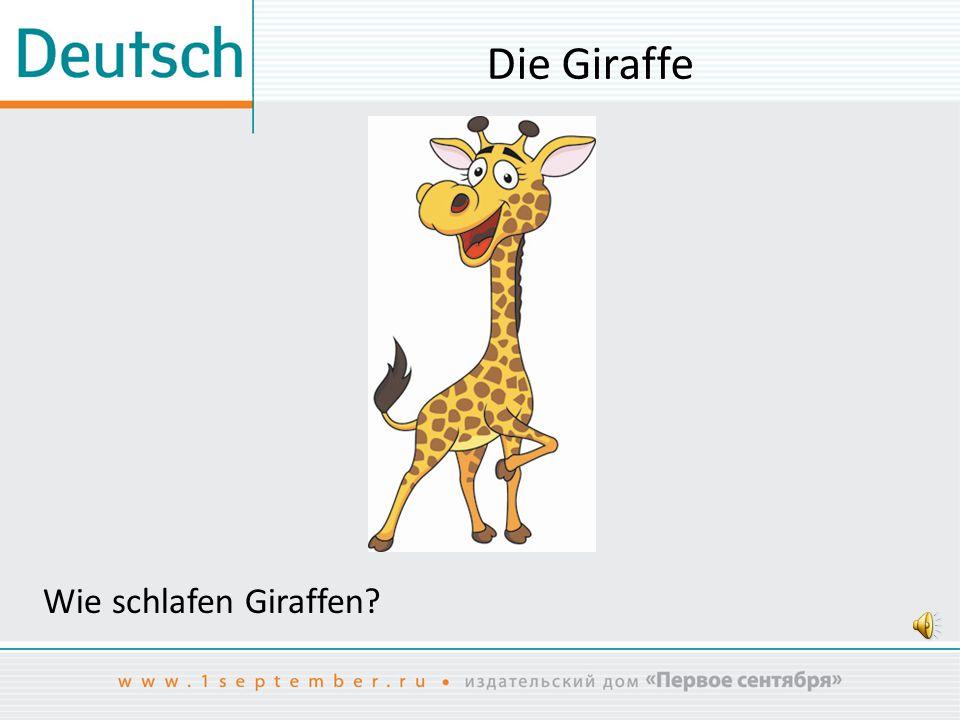 Die Giraffe Wie schlafen Giraffen