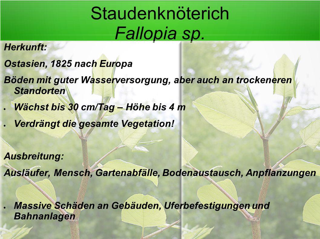 Staudenknöterich Fallopia sp.