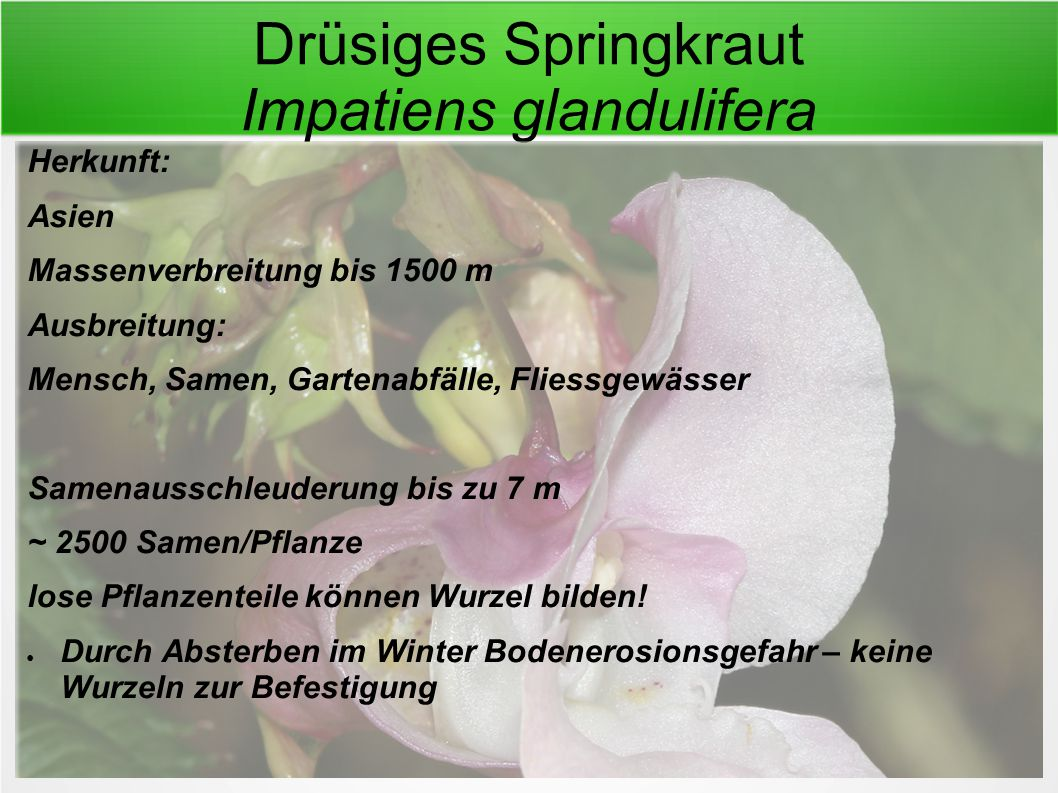 Drüsiges Springkraut Impatiens glandulifera