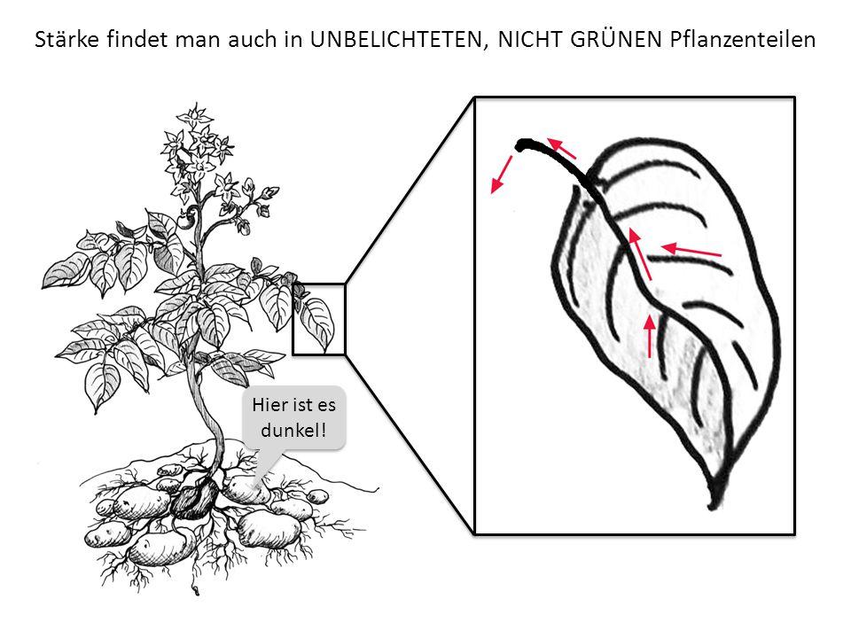Stärke findet man auch in UNBELICHTETEN, NICHT GRÜNEN Pflanzenteilen