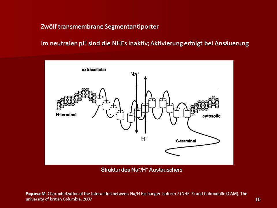 Struktur des Na+/H+ Austauschers