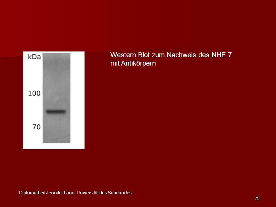 Western Blot zum Nachweis des NHE 7 mit Antikörpern