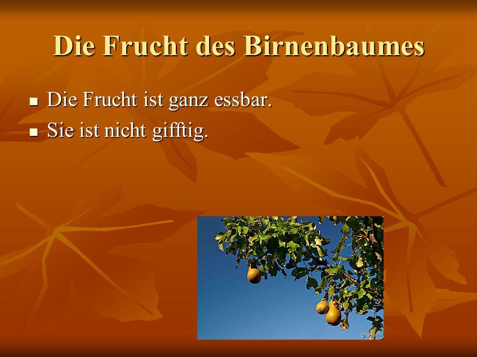 Die Frucht des Birnenbaumes