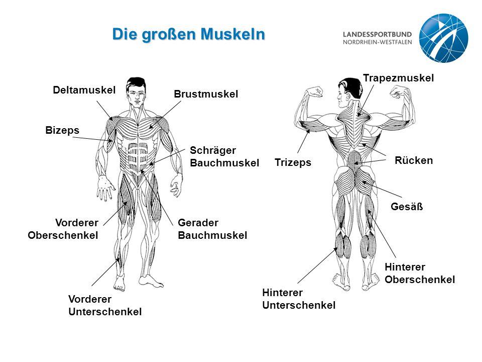 Die großen Muskeln Trizeps Trapezmuskel Rücken Gesäß