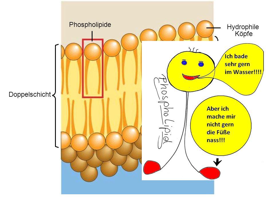 Phospholipide Hydrophile Köpfe Hydrophobe Schwänze Doppelschicht