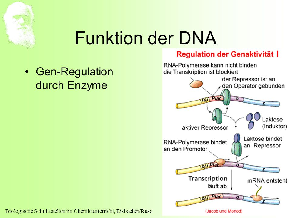 Funktion der DNA Gen-Regulation durch Enzyme