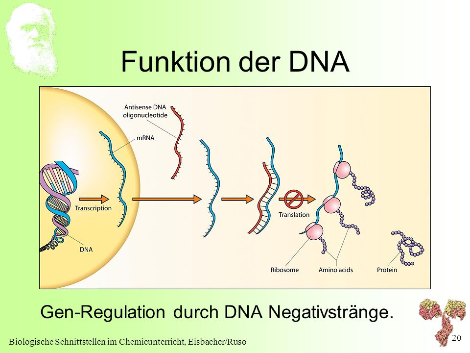 Funktion der DNA Gen-Regulation durch DNA Negativstränge.