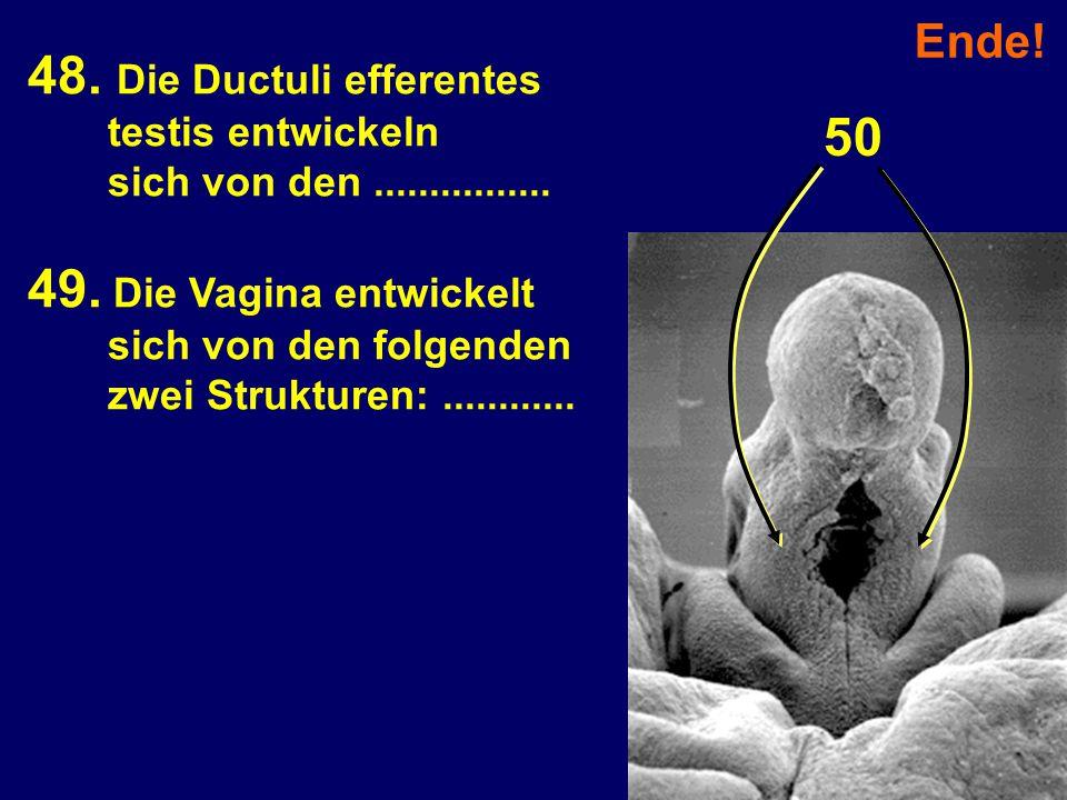 48. Die Ductuli efferentes