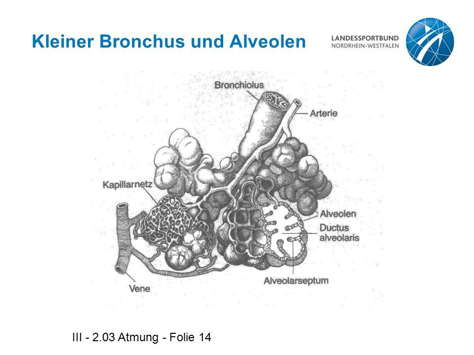 Kleiner Bronchus und Alveolen