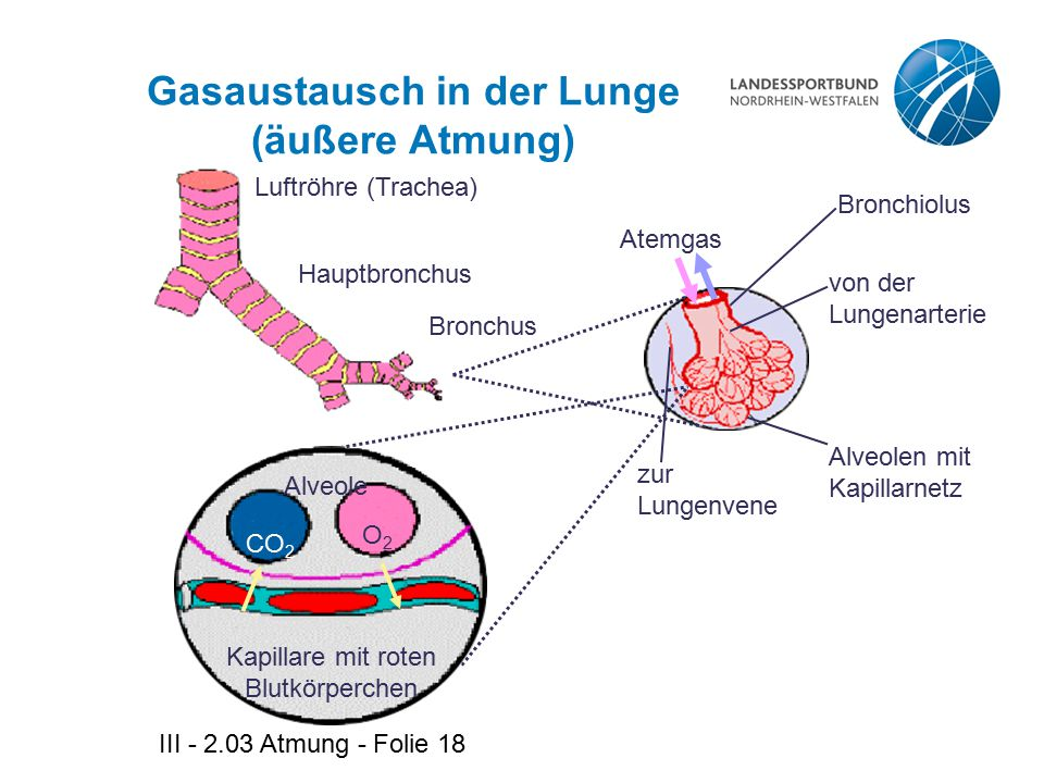 Gasaustausch in der Lunge (äußere Atmung)