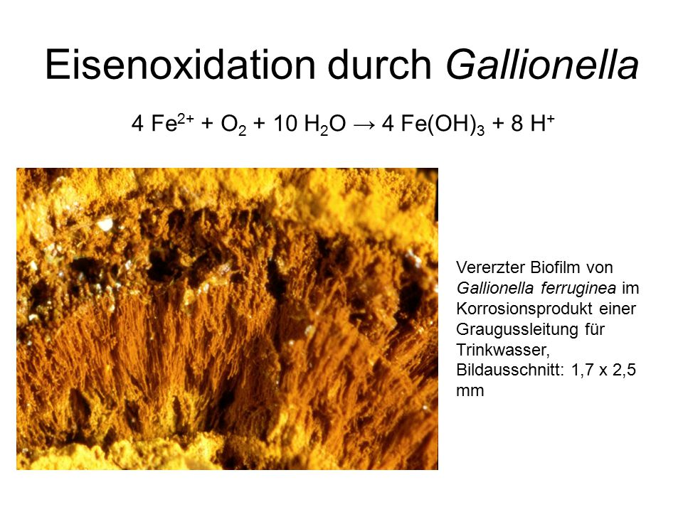 Eisenoxidation durch Gallionella